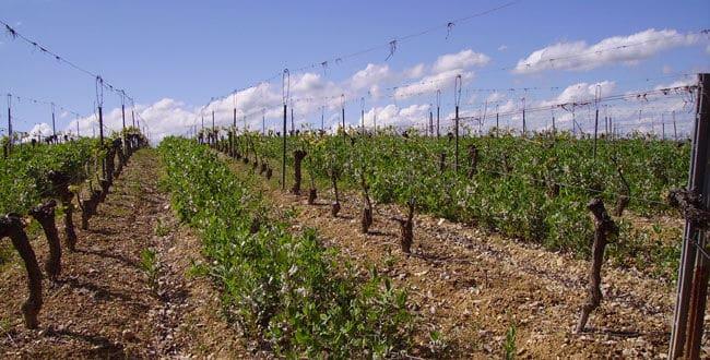 vignes vin bio nature
